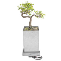 Japanese Elm Bonsai Specimen Tree